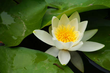 Water lily's bud in the pond among freen leaves