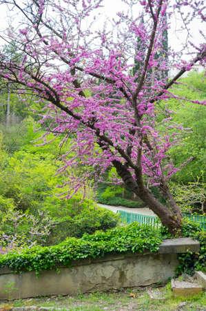 Close up of violet blossoming Cercis siliquastrum plant at Caucasus area photo