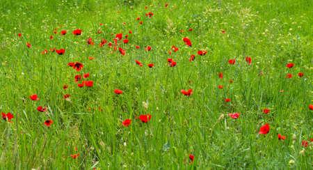 begining: Papaveri rossi campo rurale in l'inizio dell'estate