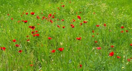 Red poppies rural field in the begining of summer photo