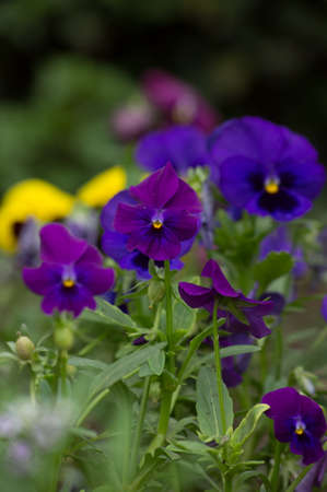 Closeup of tricolor viola flowers in the garden photo