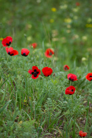 Field with red poppies flowers in the spring time photo
