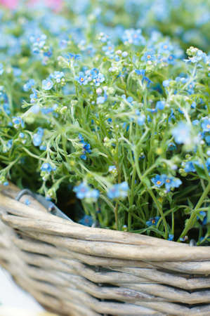 Forget me not flowers in the metal basket on the table photo