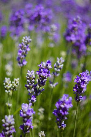 lavander: The field of flowering lavander plant in the summer garden Stock Photo