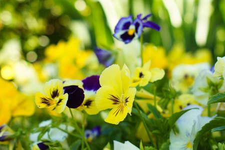 violas: Tricolor violas flower in the summertime garden Stock Photo