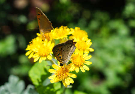 Common Blue and yellow  butterfly and yellow flowers photo
