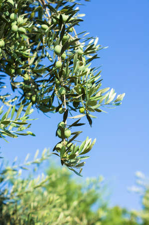 Olives on olive tree in autumn. Season nature image