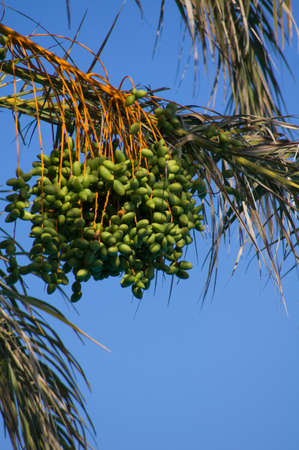 kimri: Closeup of colourful dates clusters on the palm tree