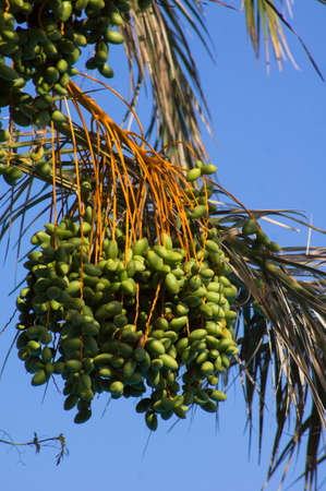 Closeup of colourful dates clusters on the palm tree photo