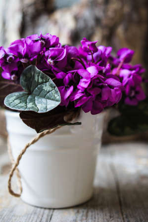 small purple flower: Purple cyclamen flowers in a pot on the old table Stock Photo