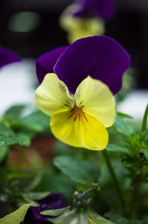 violas: Tricolor violas in the spring garden with rain drops Stock Photo