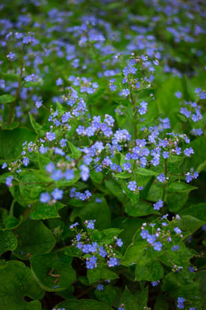 forget me not: Spring time flowers forget me not in the park
