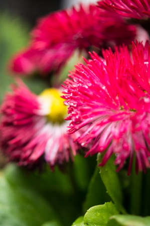 red gerber daisy: Garden daisy with dew in the garden