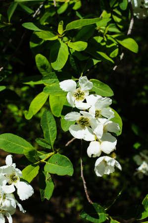 jasmine bush: Jasmine bush blooming in the sprig time garden