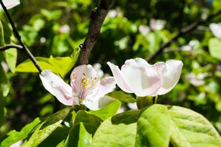 abloom: Blossom of apple tree in the spring garden Stock Photo