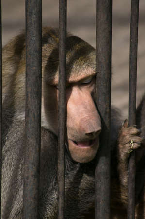 Baboon in the Tbilisi zoo cage photo