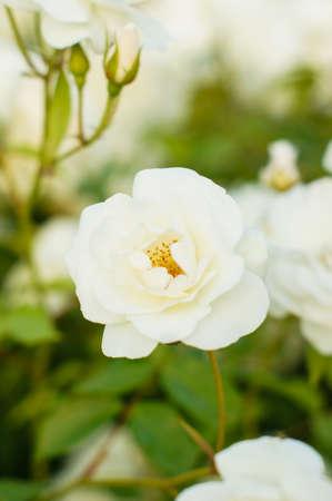 eden: White roses on the bush in the summer garden