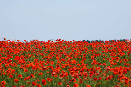 Vivid red poppy and wheat field Imagens
