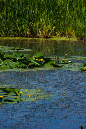 lough: Yellow Water-lily and green leaf on the water surface.  Stock Photo