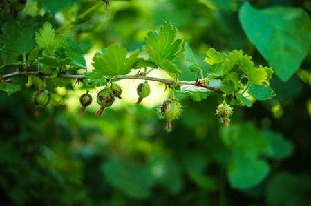 gooseberry bush: Fresh Green Gooseberries On A Branch Of Gooseberry Bush Stock Photo