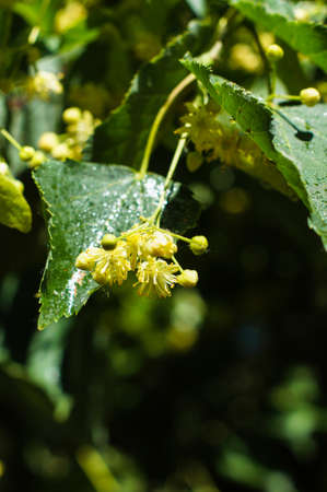 basswood: Linden tree in bloom spring time garden