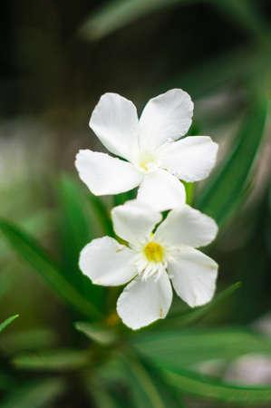 obesum: White Adenium plant  blooming(Adenium obesum)