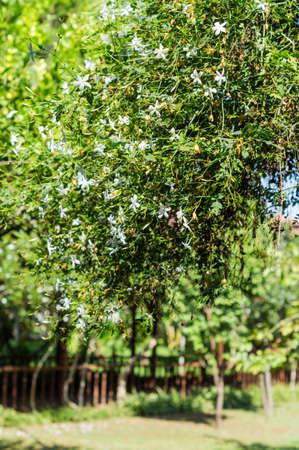 jasmine bush: Closeup of blooming jasmine bush in the tropical garden