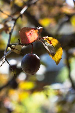 graden: plum bio organic, plum tree, summer backround,graden, bio farm Stock Photo