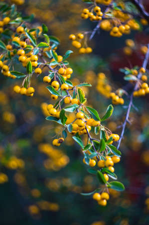 sorbus: Autumnal red and yellow rowan berries on the bush in the garden Stock Photo