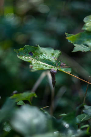 species of creeper: Closeup of green ivy leaves with dew. Selective focus Stock Photo
