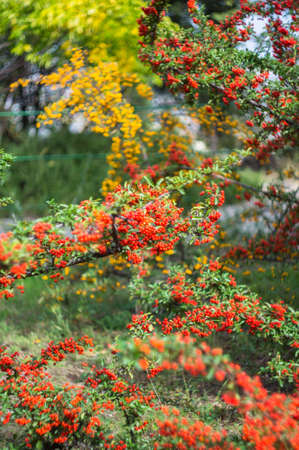 sorb: Autumnal red and yellow rowan berries on the bush in the garden Stock Photo