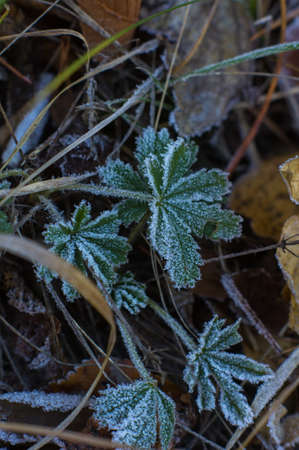 edge of the ice: First frost on the grass in the park