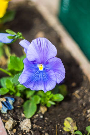 flamy: Blue tricolor viola flower in the spring time garden