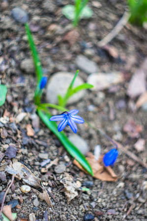 bluebell woods: Blue scilla siberica flower in springtime in the forest Stock Photo
