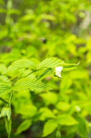 jasmine bush: Blooming jasmine bush in the spring time garden Stock Photo