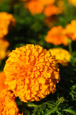 Marigolds (Tagetes erecta, Mexican or Aztec marigold) in the summertime garden Stock Photo