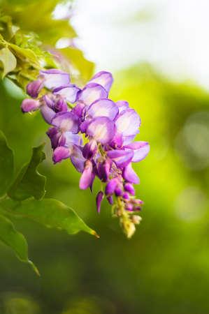 wistaria: Purple flowers of wistaria plant in the garden