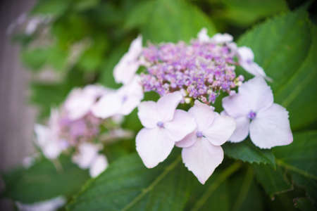 hydrangea macrophylla: Closeup view of the beautiful pink flowers of Hydrangea macrophylla or Hortensia in the garden