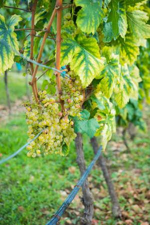 Wineyard in georgian wine region Kakheti in a period of grape harvest or Rtveli in georgian