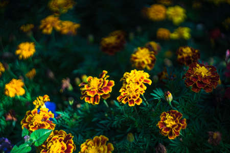 Bright marigold flowers in autumnal garden as a natural background Stock Photo
