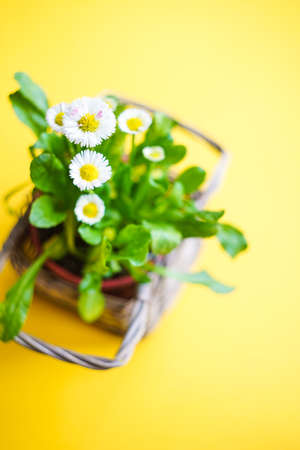 Spring floral card with daisy flowers in a pot on yellow background with copyspace