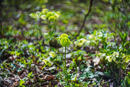Close up of rare Helleborus flower in the forest