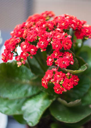 Kalanchoe blossfeldiana blooming plant in a pot on a table