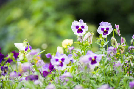 Summertime floral card with bright garden of tricolor viola flowers Stock Photo