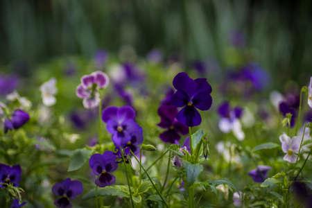 Summertime floral card with bright garden of tricolor viola flowers Reklamní fotografie