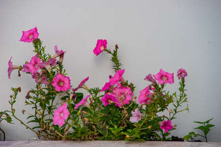 Pink petunia flowers in a home garden