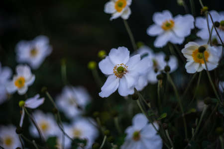 Beautiful white Anemone or thimbleweed windflowers in bloom outdoor in a park