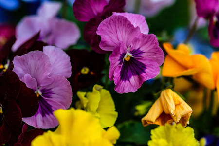 Spring floral card with bright tricolor violas in a garden Stock Photo