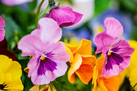 Floral card concept with close up of tricolor viola flowers in flowerbed
