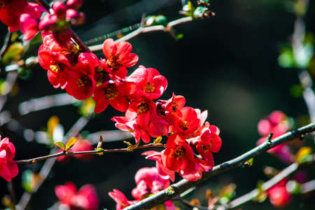 Blooming of Chaenomeles japonica (Japanese flowering quince) in a spring time garden